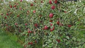 Why We're Breeding Apples For Climate Change