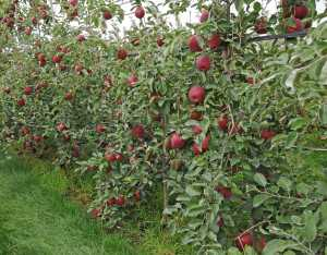 A large number of Washington growers, 458 to be exact, applied to enter a lottery for the first access to Cosmic Crisp trees for 2017. (Photo credit: WSU CAHNRS Communications)