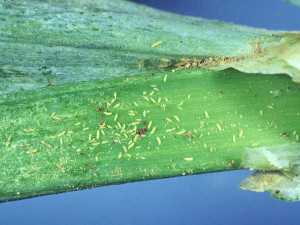Onion thrips are small and hard to observe, and little is known about their dispersal abilities.