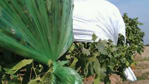 Plastic Rain Covers Can Affect Canopy Microclimate And Fruit Quality