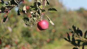 Record Apple Crop Expected In Washington