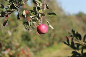 Web_apple