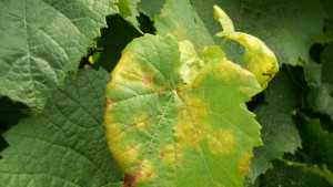 Summer Control Options For Downy Mildew