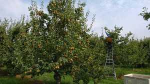 Bosc Pear Harvest