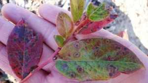 Michigan State University Extension Offers Tips To Prevent Leaf Rust In Blueberries