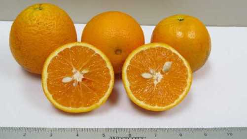 Commercializing Sweet Oranges A Practice In Persistence