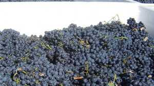 French Winegrowers Face Higher Labor Costs