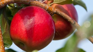 What Makes A Flavorful Fruit?