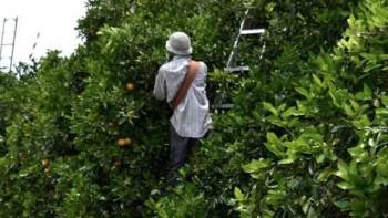 Citrus harvest_featured