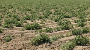 Drought Update For Fresh And Processed Tomatoes