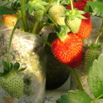 hydroponic_strawberry_perlite_saylors_web