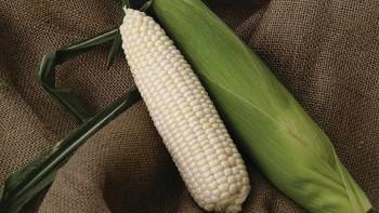 Summer Sweet 8909 sweet corn_slideshow