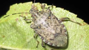 Bagrada Bug And Brown Marmorated Stink Bug Posing Threat To Western Growers
