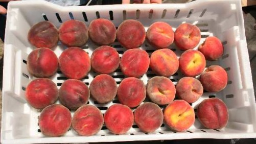 Study: Peaches Preferred By Younger Consumers