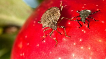brown marmorated stink bug and nymph