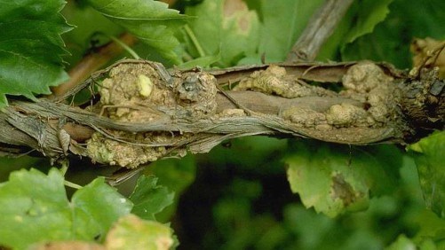 Researchers Find Detection Method for Crown Gall Disease