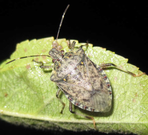 Brown marmorated stink bug (right) is a serious threat to key Western vegetable areas. Photo credit: Shimat Joseph