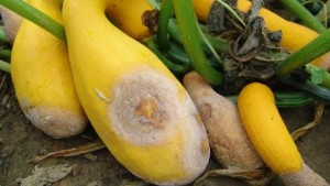 Fight Phytophthora Blight Of Cucurbits