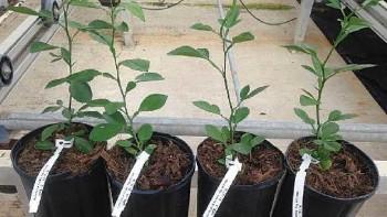 Citrus rootstocks UFR 2, UFR 3, UFR4, UFR 16