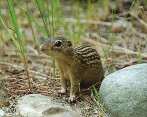 A 13-line ground squirrel. (Wikimedia commons photo)