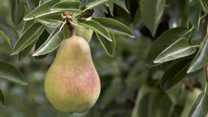 USA Pears Launches Month-Long Marketing Blitz
