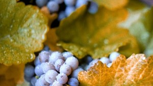 New York Seeks to Boost Concord Grape Industry