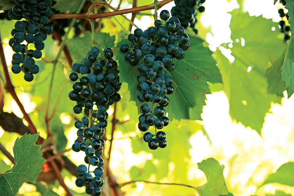 Sulfur Spray Best Practices For Winegrapes - Growing Produce