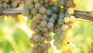 La Crescent produces a good quality white wine with apricot-like flavor. The off-dry, sweet white wine pairs well with appetizers, seafood and chicken. La Crescent has excellent winter hardiness with moderate disease resistance that requires a standard spray program.