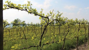 Fact-Checking Some Viticulture Myths