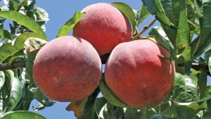 Lane Southern Orchards Featured In National Project
