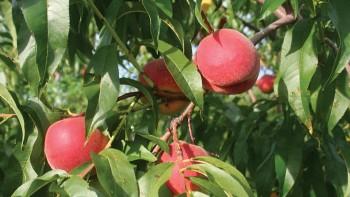 PF5 D Big, Flamin' Fury® Peaches