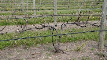 A typical vitis vinifera vine shown here in late May, has shoot growth only from buds that were below the snow level during the sub-zero temperatures endured this past winter.  (Photo credit: Duke Elsner)