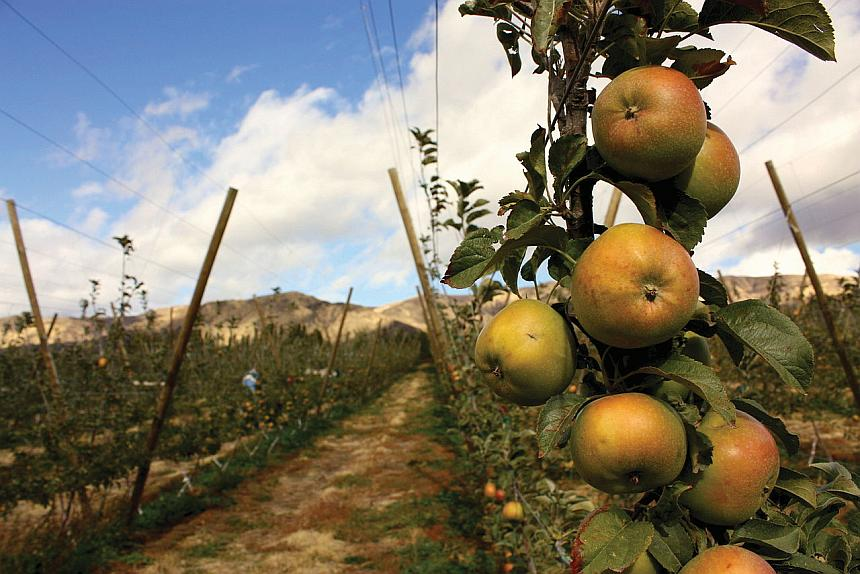 Newtown Pippin apples pictured in Washington. (Wikimedia commons photo)