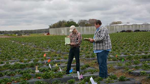 UF/IFAS researcher Vance Whitaker (left) and Gerald Hubbell with JMAK Farms participate in a review of strawberry plants in Plant City.  Photo courtesy of UF/IFAS