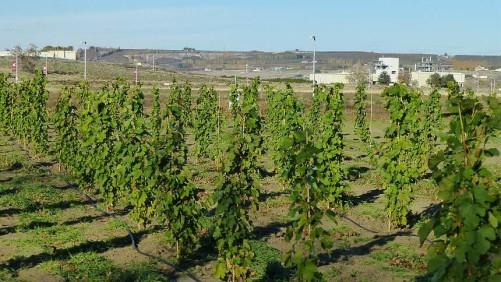 Washington Announces Record Winegrape Harvest