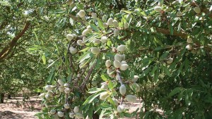 Wonderful Orchards Removes 10,000 Acres Of Almonds