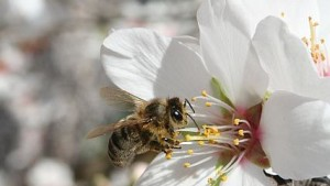 Almond Growers Key To Solving Bee Loss Puzzle