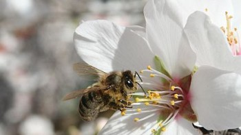 honey bee on almond tree