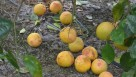 Citrus Fruit Drop in Florida grove