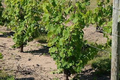 Grape Vine Pruning Workshop