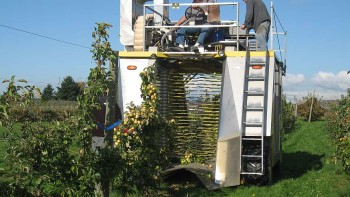 An over-the-row small fruit harvester passes over cider apple trees at WSU Mount Vernon, WA. (Photo credit: Carol Miles, WSU)