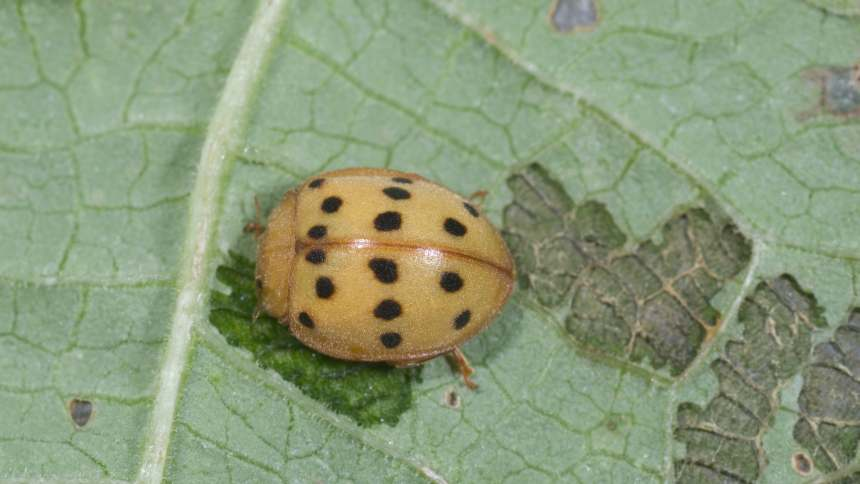 Mexican bean beetle is a sporadic pest that doesn not require regular or scheduled sprays for control.  Photo credit: Ric Bessin
