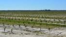 New citrus grove in Florida