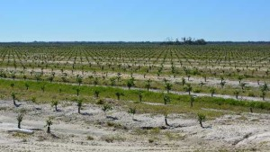 Proposed Tax Bill Ups Ante For Florida Citrus Growers Willing To Re-Plant