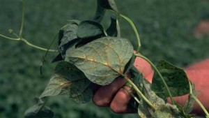 Stop Tobacco Streak Virus From Taking Hold Of Your Vegetables
