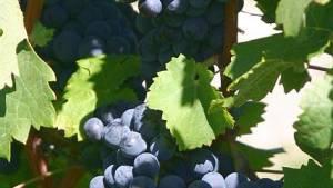 Does Cabernet Franc Fit Into Bordeaux Regional Production?