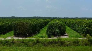 Florida's Citrus Crop Estimate Unchanged in a Tough Season