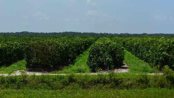Latest Florida Citrus Crop Forecast Runs Flat