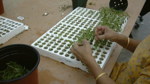 How To Be Successful Using Grafted Vegetable Plants