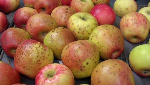 Debunking the Myth of Calcium and Fruit Quality